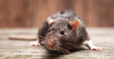 rotte bekæmpelse